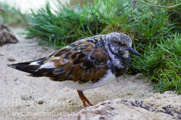 A ruddy turnstone stands in sand in an injured bird care facility, Monterey Bay Aquarium