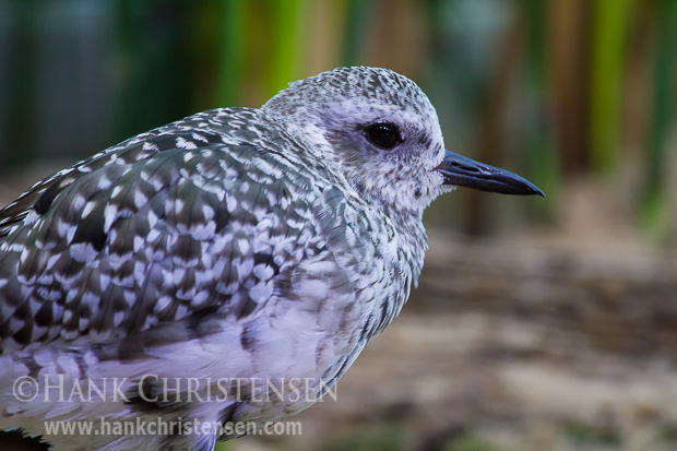 A black-bellied plover in winter colors stands in a natural setting within an injured bird care facility, Monterey Bay Aquarium