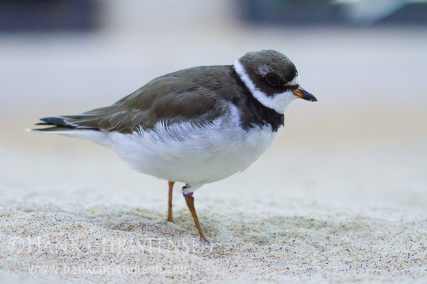 A banded semipalmated plover stands in sand in an injured bird care facility, Monterey Bay Aquarium