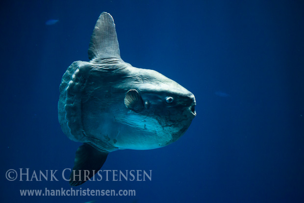 An enormous ocean sunfish swims in a large tank at the Monterey Bay Aquarium.