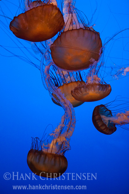 Jellyfish move through a water exhibit at the Monterey Bay Aquarium