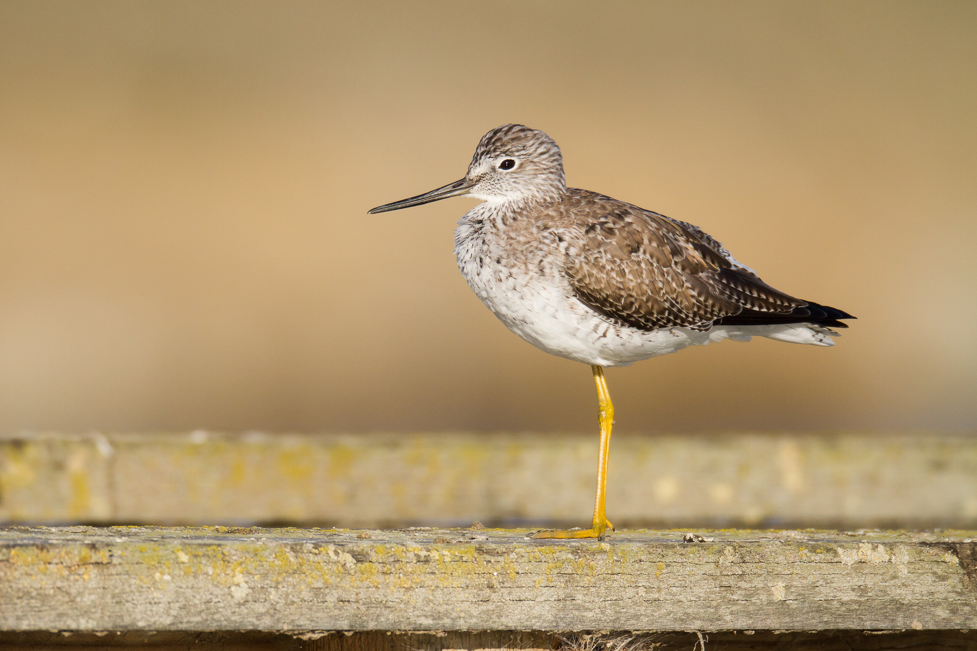 A greater yellowlegs stands on the railing of a dock.  The background color comes from a distant shoreline behind the dock.