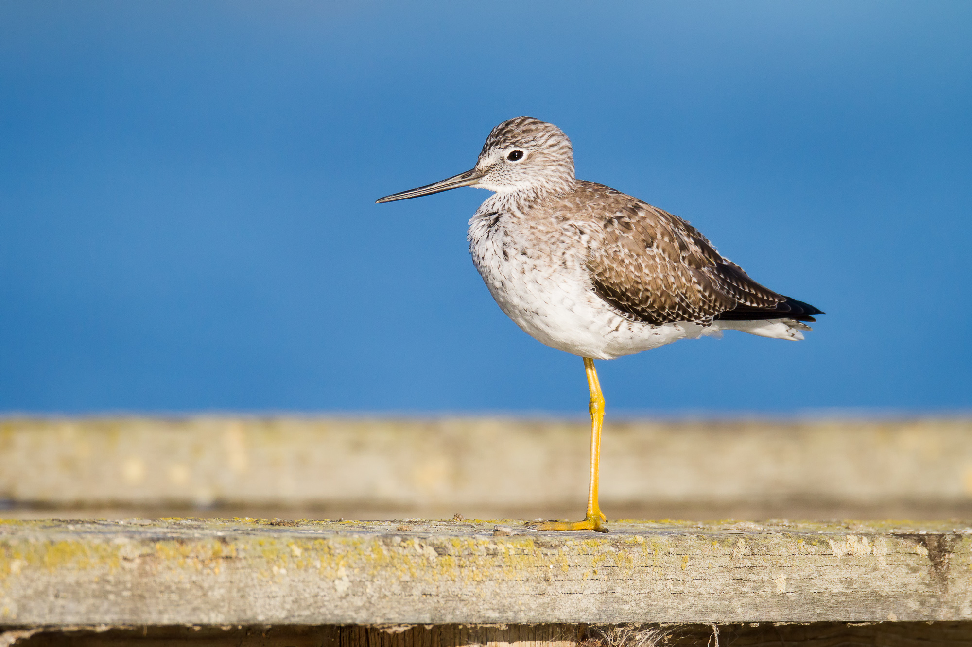 A greater yellowlegs stands on the railing of a dock.  The background color comes from a lake behind the dock.