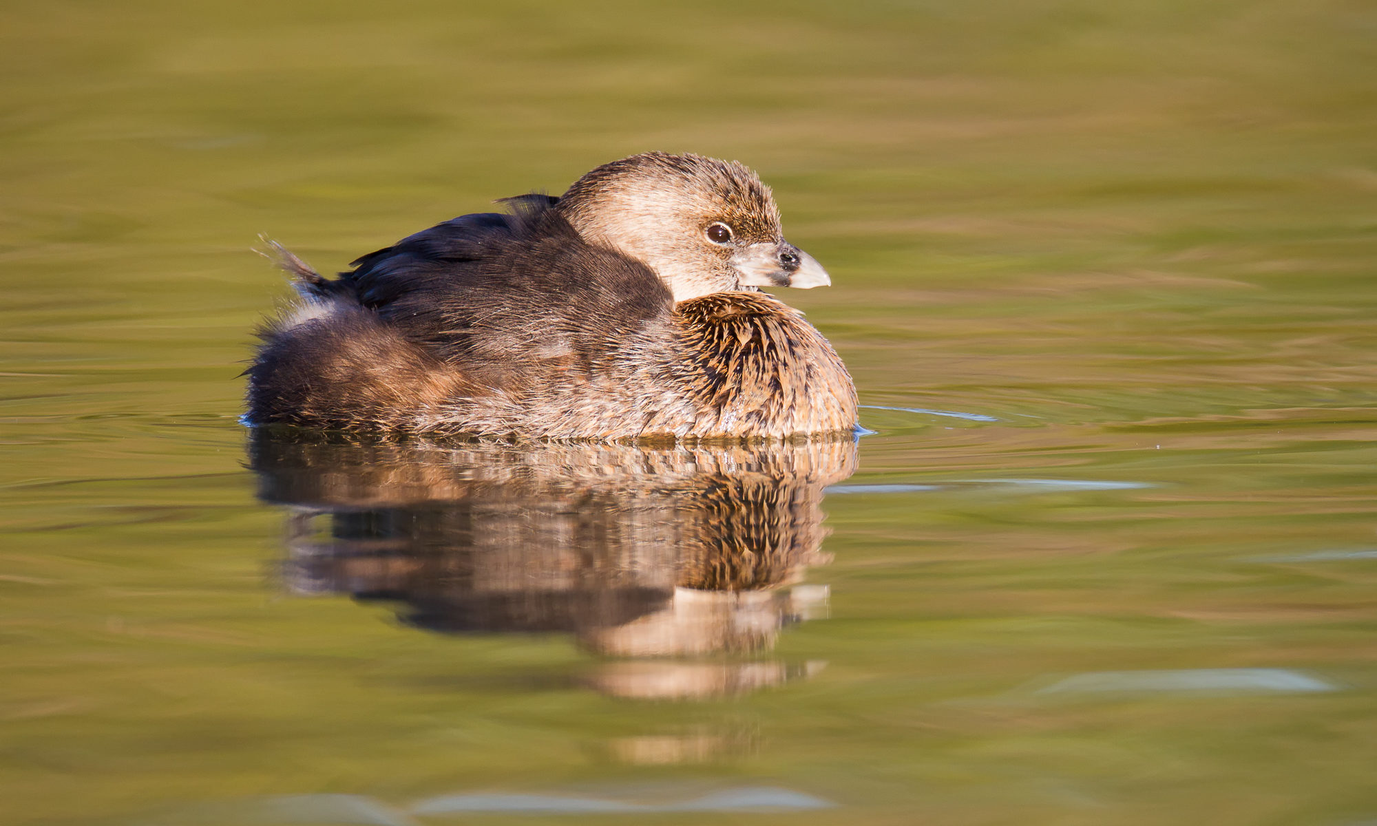 A pied-billed grebe is reflected in the still water near the shore of a lake. The color reflected in the water comes from the nearby shore.