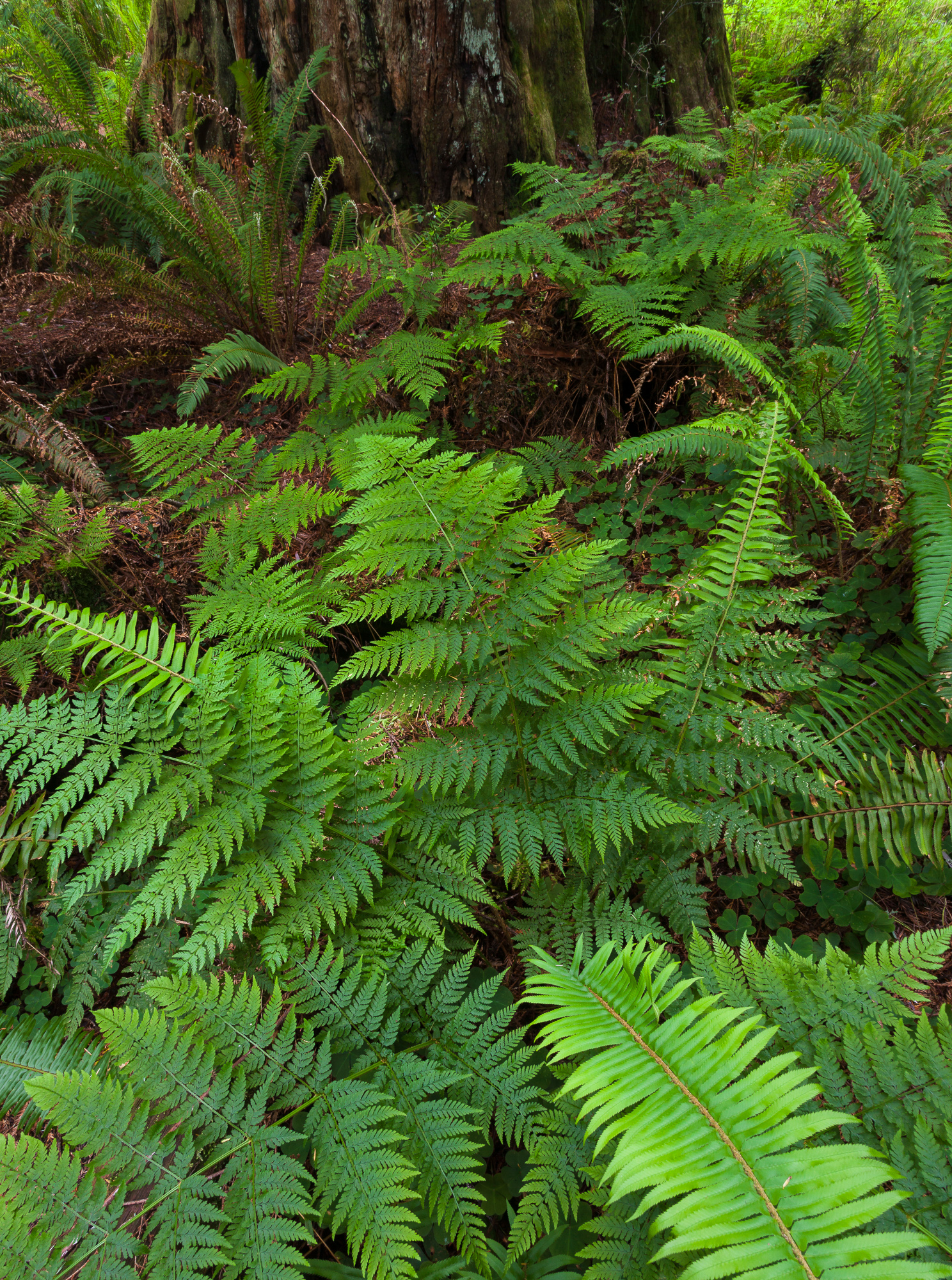 Ferns grow at the base of a large redwood tree, Prairie Creek Redwoods State Park