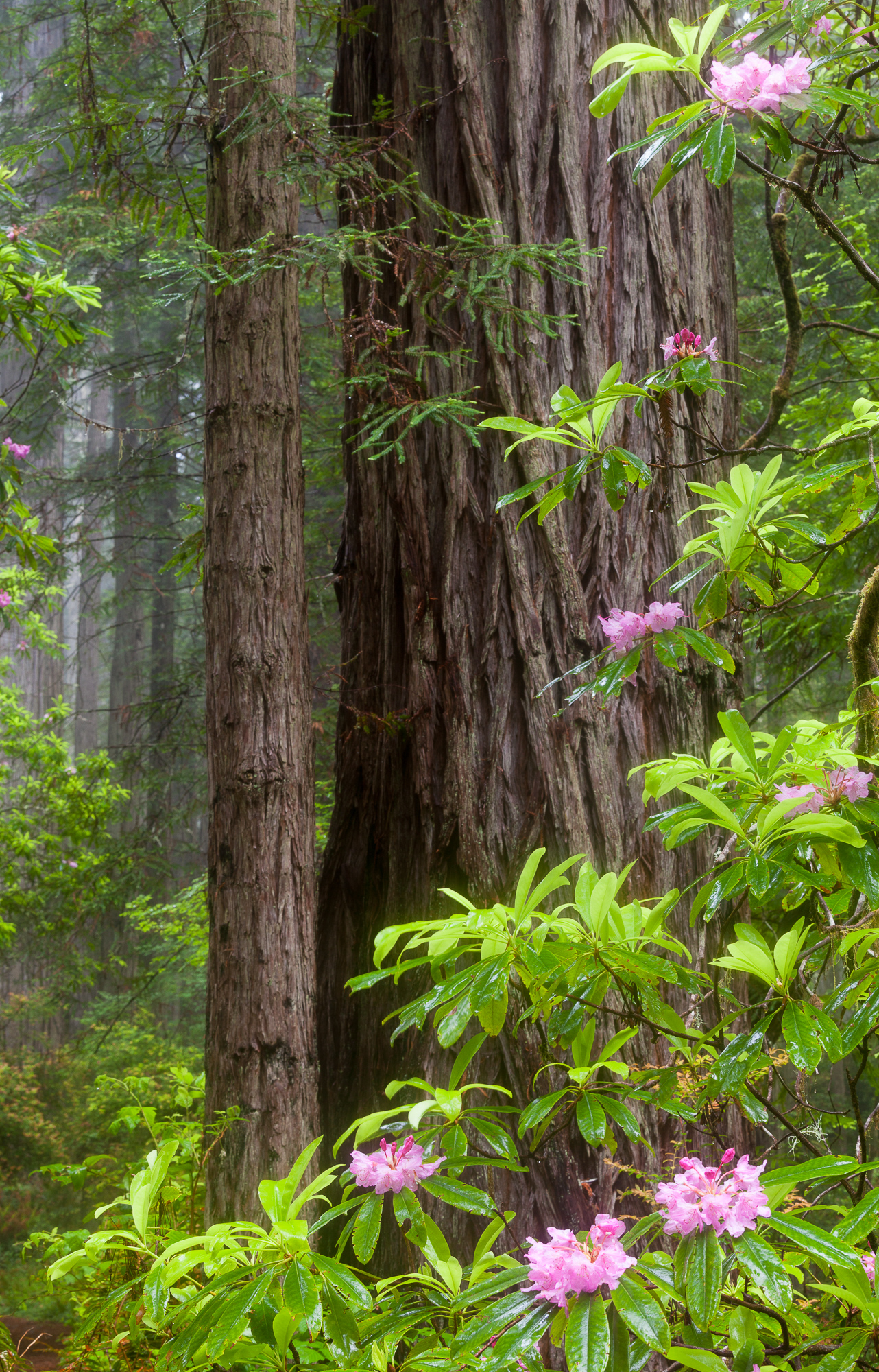 Rhododendrons grow amongst the redwoods along the California coast.  Fog regularly permeates the forest, giving these giants the perfect conditions in which to grow.