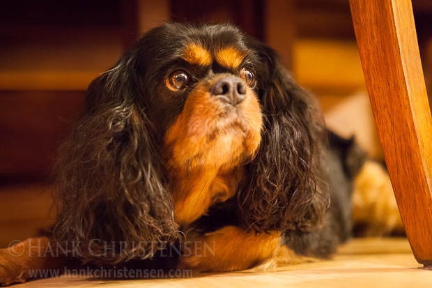 Meet Lola, a Cavalier King Charles Spaniel. She has a very sweet disposition and loves to cuddle.