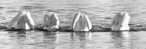 Four american white pelicans line up, all of them fishing at the same time. There was a nice symmetry to this image, which was calling very strongly to be rendered as a black and white fine art photograph.