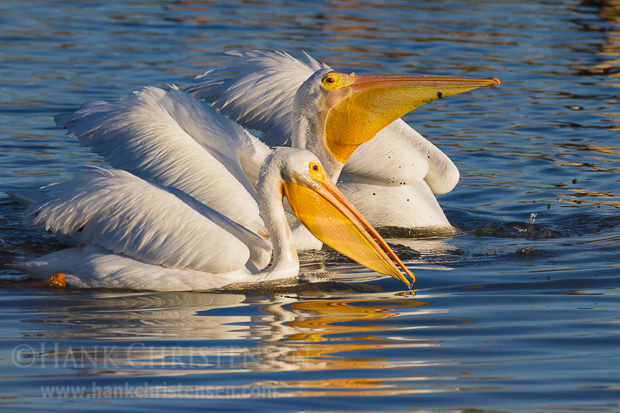 Several american white pelicans swim together, alternately dipping their heads under water to pull up a bill full of fish