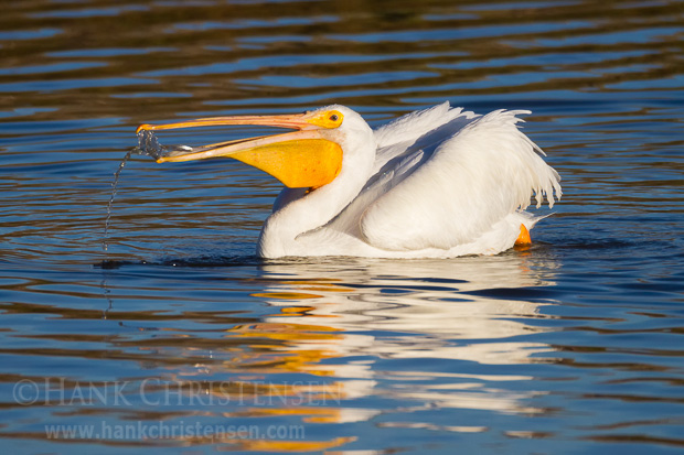 A fish attempt to flee the confines of an american white pelican's bill.