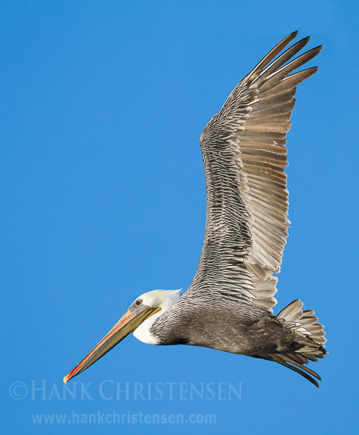 A brown pelican circles through the air above a lake, looking for fish to dive for