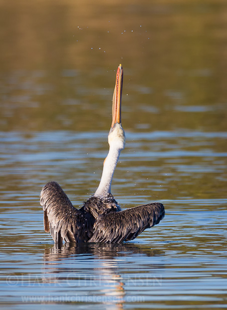 After diving for fish, a brow pelican dries its feathers with a vigorous head throw.