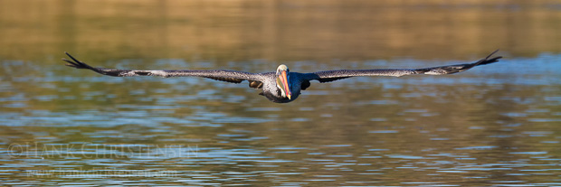 A brown pelican flies low and flat over the surface of the water after it takes off from the surface