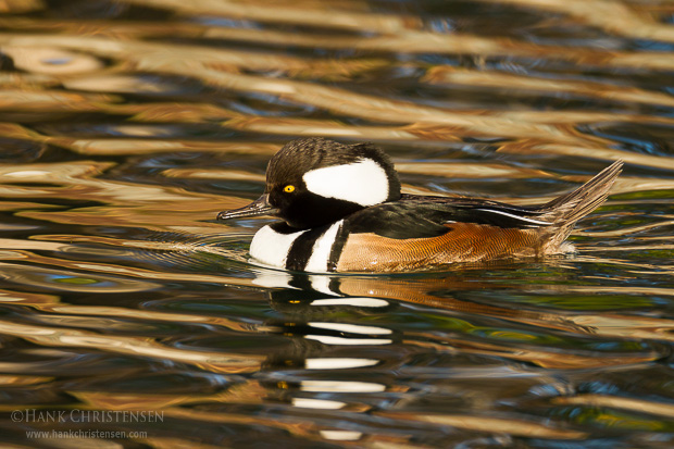 A male hooded merganser swim through calm water reflecting the colors of fall