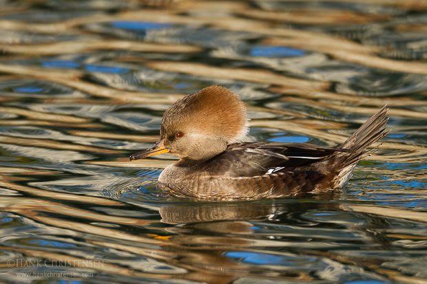 A female hooded merganser sleep on the surface of calm water reflecting the colors of fall