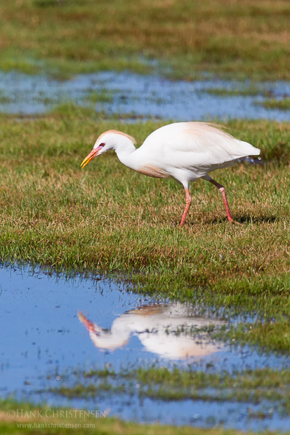 A cattle egret is reflected in a pool of water as it searches for food amongst the grass