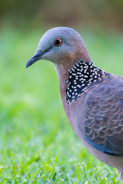 A spotted dove stands in short grass