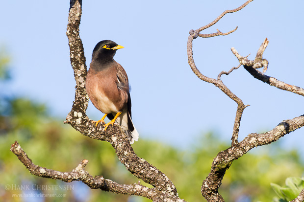 A common myna perches on the branch of a tree