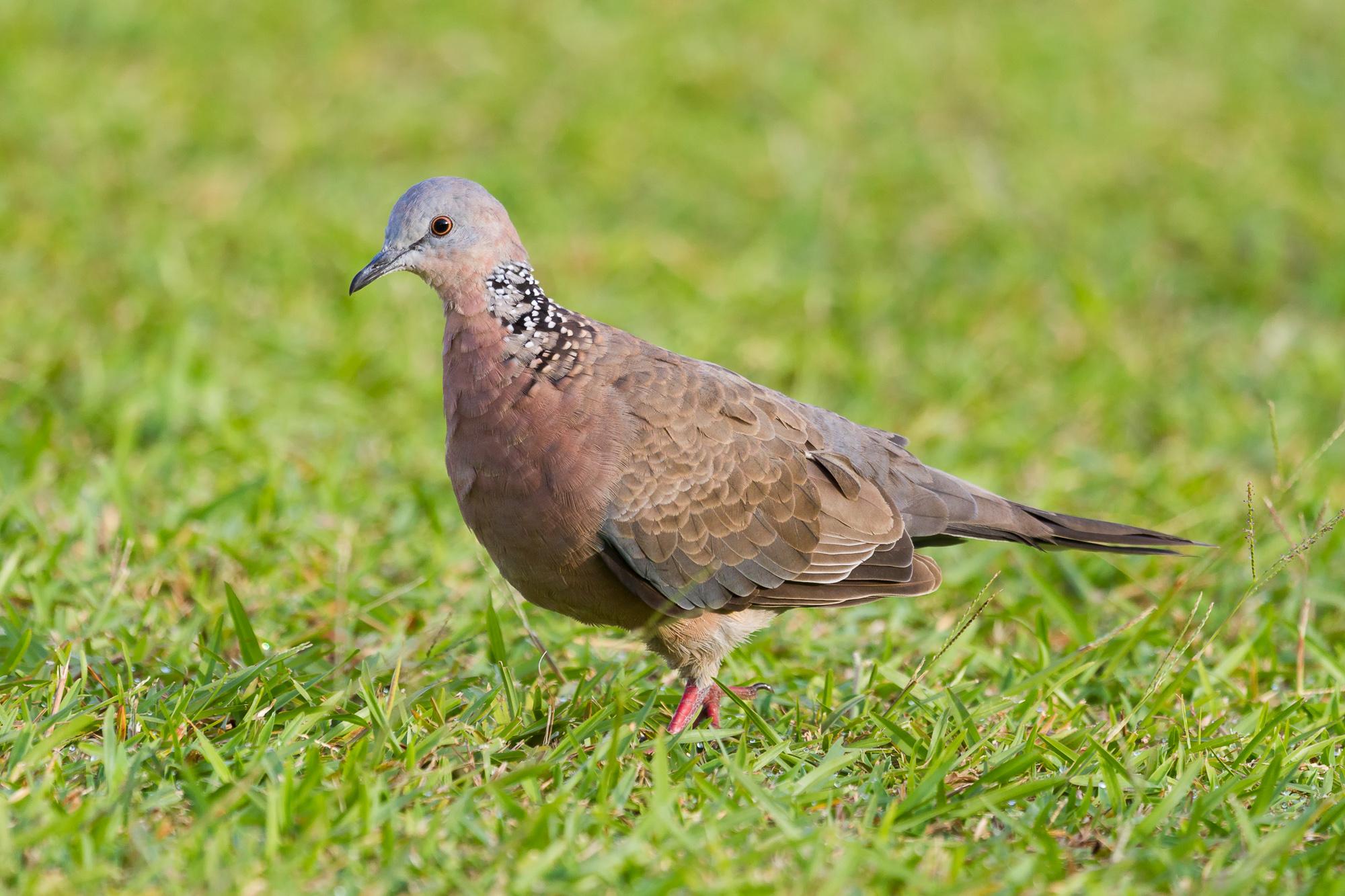 Rose Bowl Parade: Liberar a las palomas en peligro? - Noticias de Mercurio
