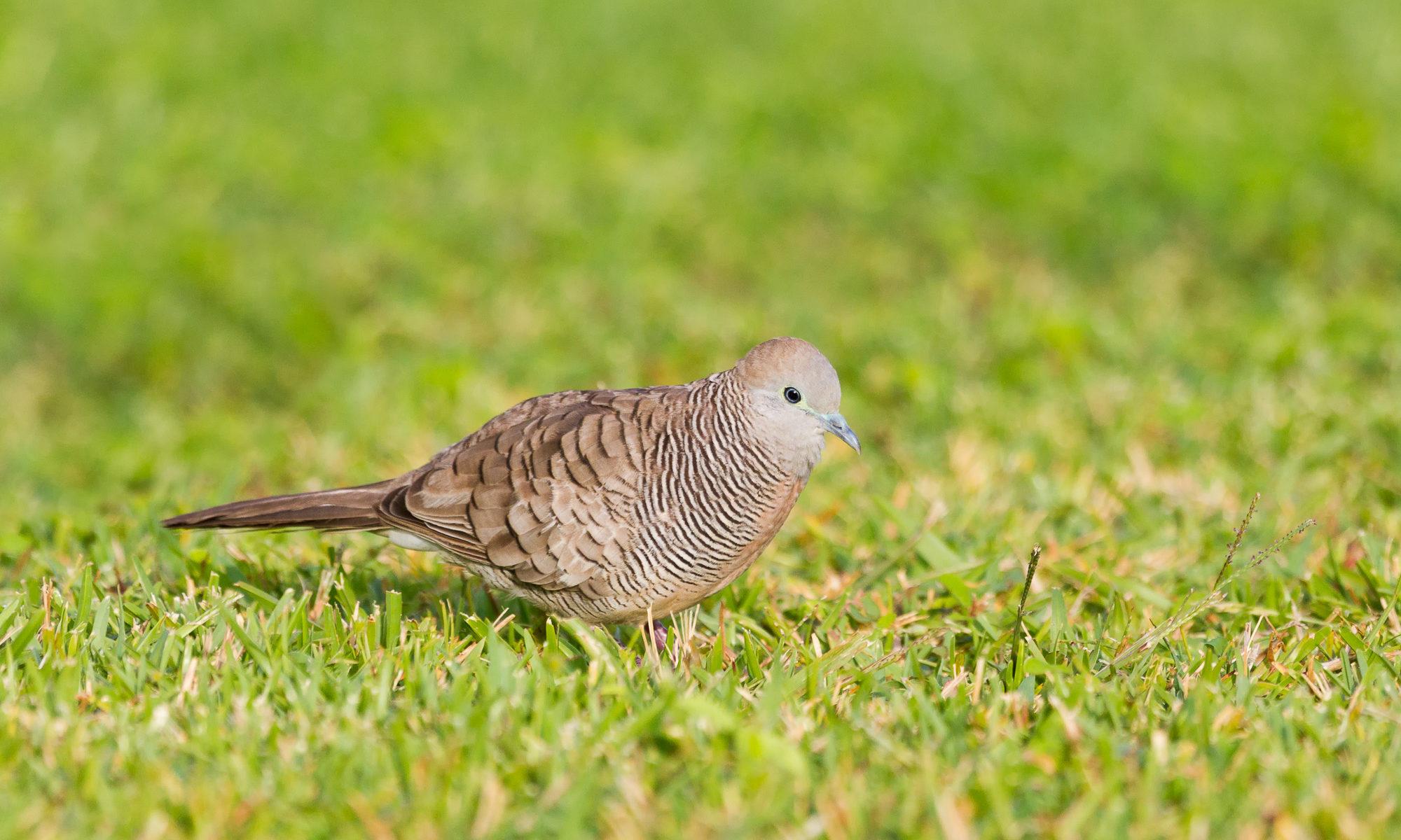 A zebra dove stands in short grass