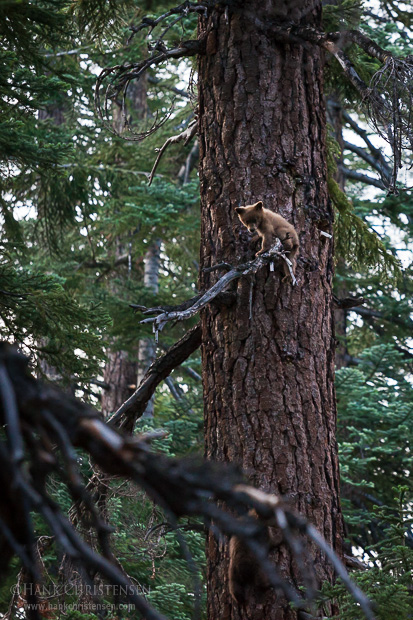A black bear cub climbs a tree to escape from unknown potential predators, Yosemite National Park
