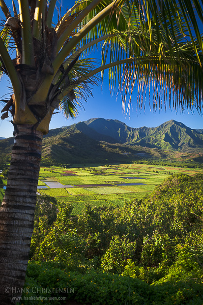 A palm tree overlooks an agricultural field on the north shore of Kauai