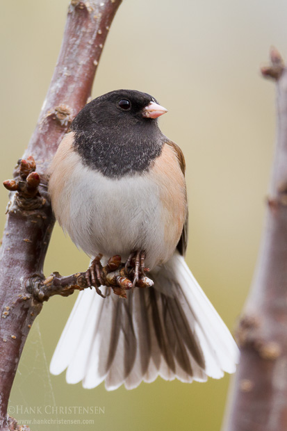 A dark-eyed junco perches on a tree branch and flashes his tail feathers