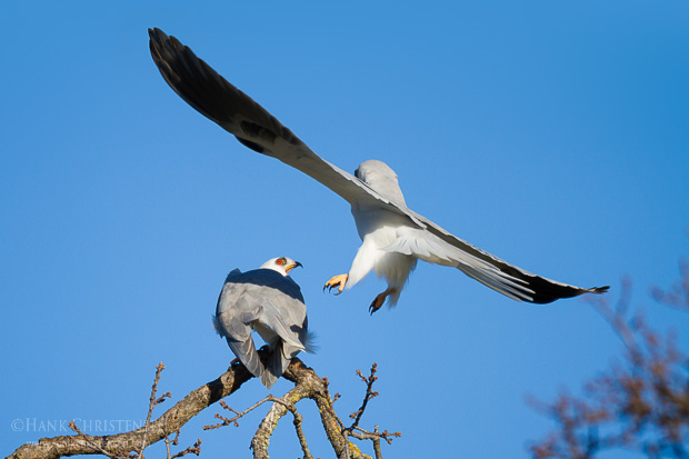A male white-tail kite approaches a female from behind and mates with it