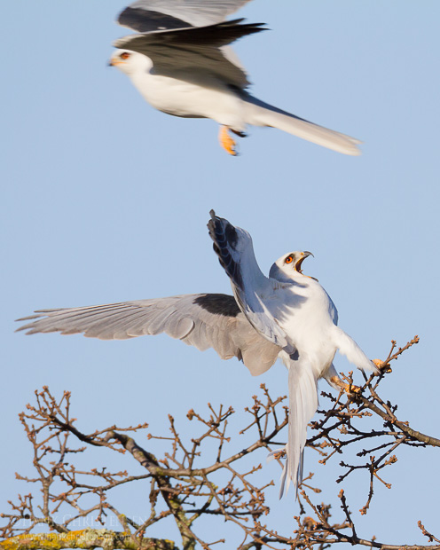 A male white-tail kite flies past a female, which reacts to his close proximity