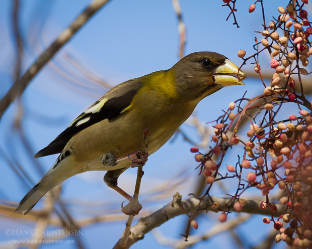 An evening grosbeak reaches for food on the branches on a chinese pistache tree, Sunnyvale, CA.