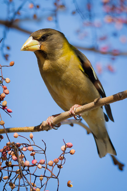 An evening grosbeak perches on a branch of a chinese pistache tree, Sunnyvale CA.