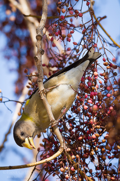 An evening grosbeak perches on a branch of a chinese pistache tree and eats a small seed, Sunnyvale CA.