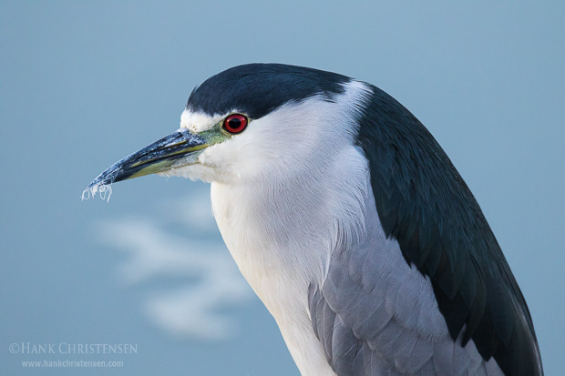 A black-crowned night heron perches above water in pre-dawn light, Belmont, CA.