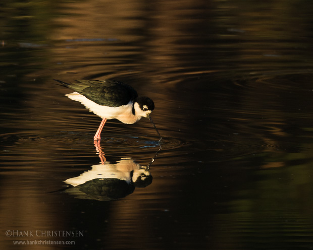 A black-necked stilt fishes in shallow water, Belmont, CA.