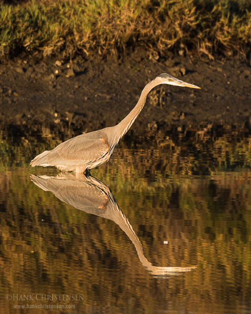 A great blue heron is reflected in still water in early morning light, Belmont, CA.