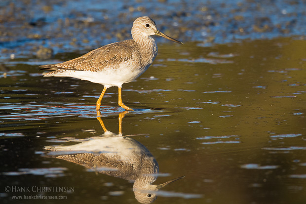 A greater yellowlegs is reflected in shallow still water, Belmont, CA.