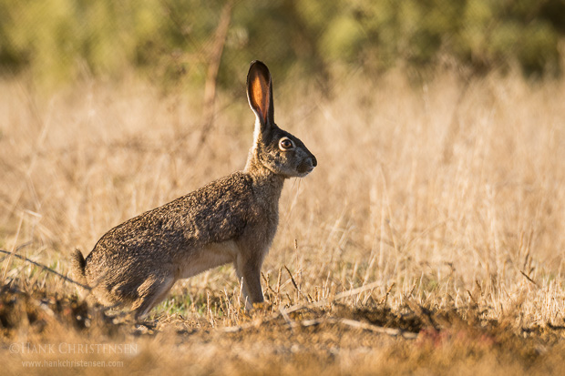 A blacktail jackrabbit pauses in the morning light to watch for predators, Belmont, CA.