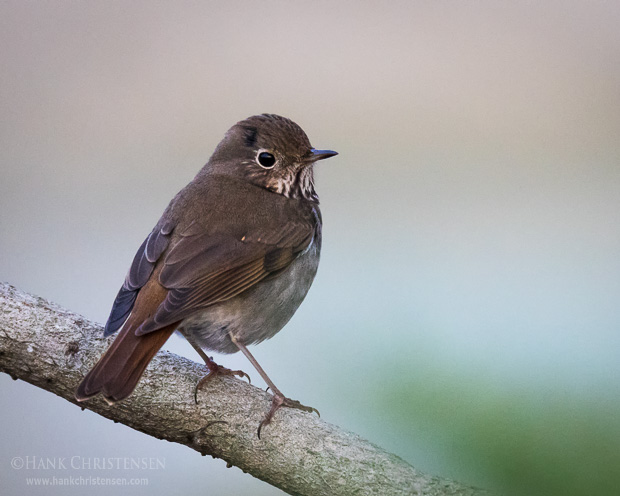 A hermit thrush pauses briefly on a branch in the last night of the day, Redwood Shores, CA.