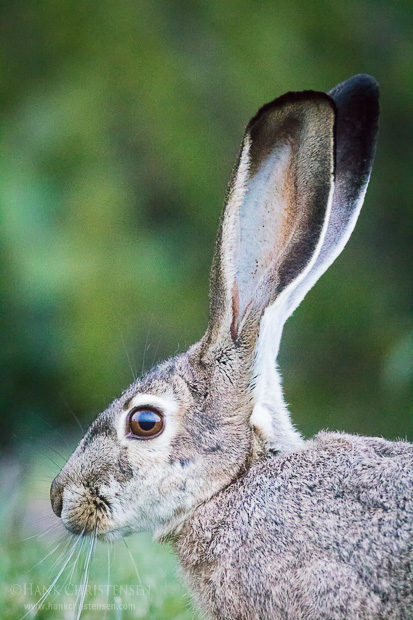 A blacktail jackrabbit ventures out into the grass just after sunset, Redwood Shores, CA.