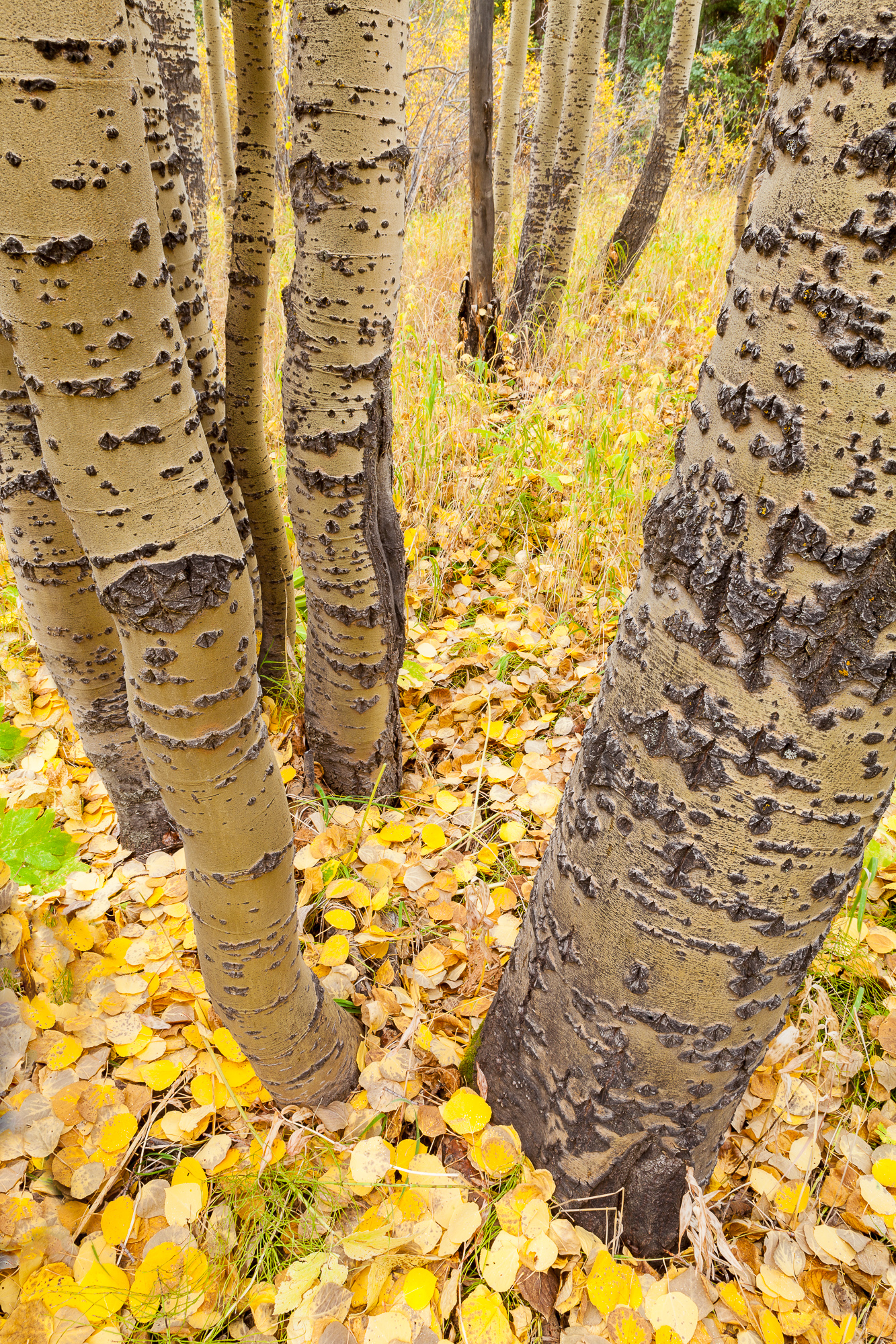 Fallen aspen leaves carpet the forest floor casting the trunks in a golden white
