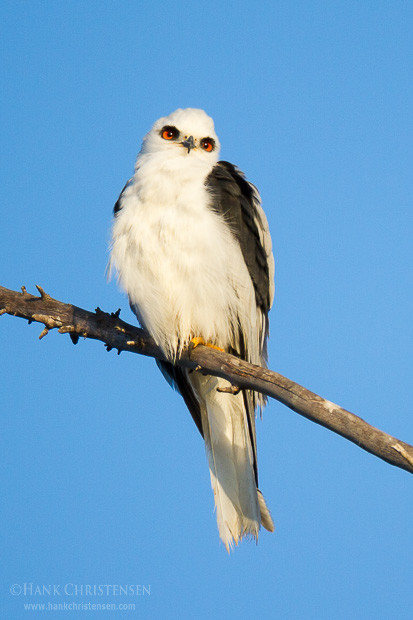A white-tail kite perches on a large branch