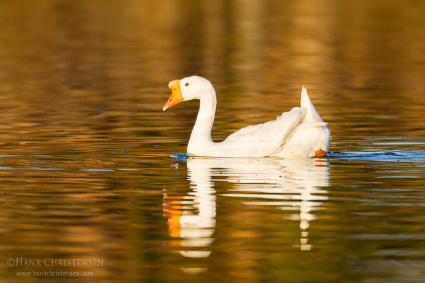 A domestic goose swims through still water reflecting fall color foliage