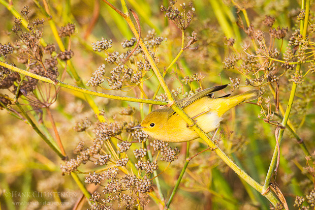 A female yellow warbler pauses briefly on wild fennel in the morning sun