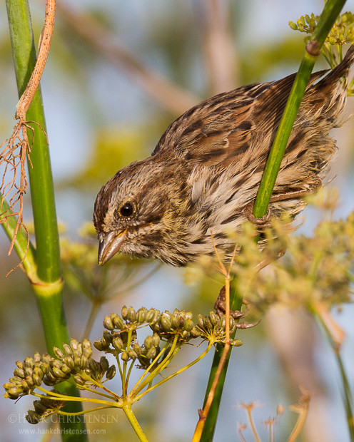 A song sparrow perches on wild fennel in the morning sun