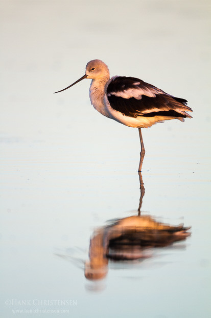An american avocet stands in shallow water, catching the first rays of morning sun