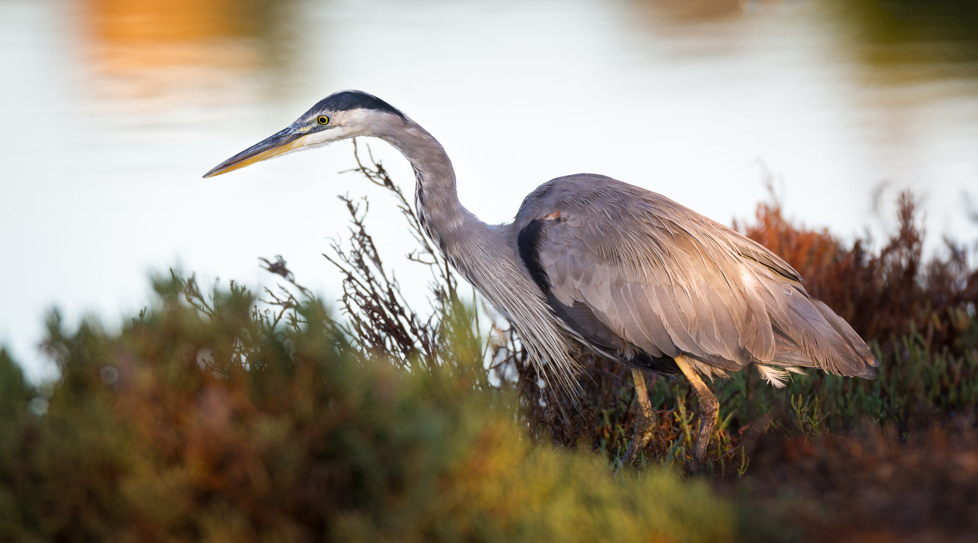 A great blue heron stands along the shore of a canal in early morning light