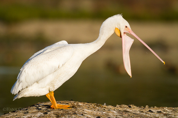 An american white pelican stretches its neck forward, elongating its beak and pouch.