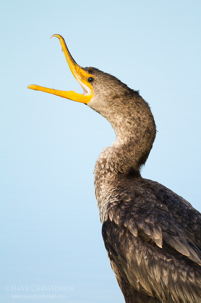 A double-crested cormorant opens its beak wide and cranes its neck