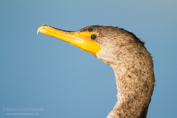 A double-crested cormorant stands very still next to a tidal slough