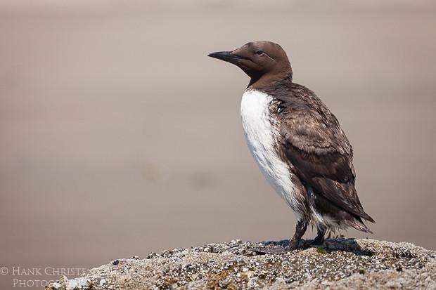 A common murre perches atop a rock along a southern Oregon beach